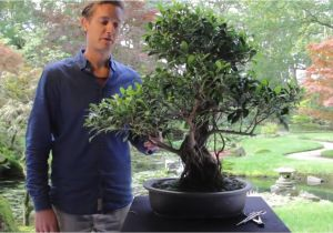 Ficus Microcarpa Ginseng How to Take Care Bonsai Ficus Youtube