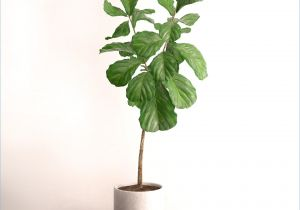 Ficus Microcarpa Ginseng How to Take Care Ficus Ginseng Pflege