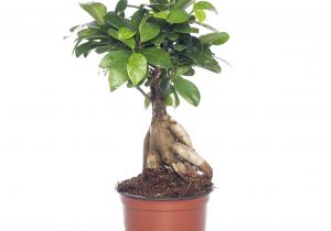 Ficus Microcarpa Ginseng How to Take Care Ficus Microcarpa Ginseng Pflege Genial 29 Pflege Ficus Ginseng