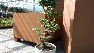 Ficus Microcarpa Ginseng How to Take Care Ficus Microcarpa Ginseng Pflege Luxus Im tontopf Bonsai Ficus