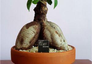 Ficus Microcarpa Ginseng How to Take Care Ginsen G Kaktus Ve Sukulent Koleksiyonum 10 03 2018 Pinterest