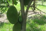 Fruit Trees that Grow In Florida 34 Best Images About Fruits On Pinterest Trees the