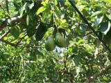 Fruit Trees that Grow In Florida Star Fruit Trees Tropical Florida Gardens