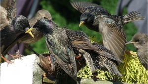 Getting Rid Of Starlings How to Get Rid Of Starlings Quick Tips