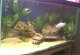 Golden Nugget Pleco for Sale Aquarist Classifieds All Adverts New Ads for Sale Only
