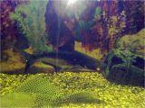Golden Nugget Pleco for Sale Aquarist Classifieds Tropical Fish for Sale