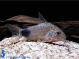 Golden Nugget Pleco for Sale Corydoras Caudimaculatus Schwanzfleck Panzerwels Aqua Stern