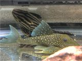 Golden Nugget Pleco for Sale Images About Royalpleco Tag On Instagram