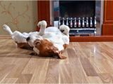 Good Flooring for Large Dogs the Best Floors for Your Pet and Your Home