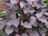 Hopi Red Dye Amaranth Black Leaved Cotton Gossypium Herbaceum Nigrum with Hopi Red