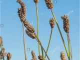 Hopi Red Dye Amaranth Plants Edible Seeds Stock Photos Plants Edible Seeds Stock Images