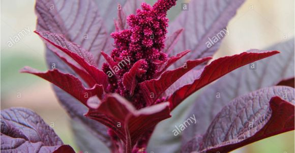 Hopi Red Dye Amaranth Red Food Dye Stock Photos Red Food Dye Stock Images Alamy