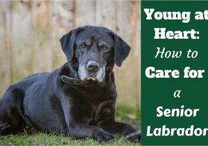 How to Euthanize A Dog with Benadryl Caring for Your Senior Labrador Health and Happiness to the End