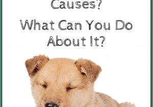 How to Euthanize A Dog with Benadryl What Causes Dog Wheezing What You Can Do About It