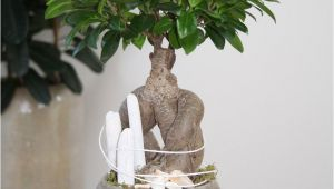 How to Take Care Of A Ficus Microcarpa Ginseng Arrangement White Beach You Can Create This Beautiful Natural