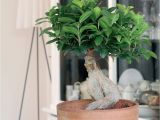 How to Take Care Of A Ficus Microcarpa Ginseng Bonsai Ficus Ginseng Modna Roa Lina Do Domu Jak Piela Gnowaa by
