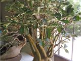 How to Take Care Of A Ficus Microcarpa Ginseng Full Size Picture Of Impala Lily I Adenium Multiflorum I Rosa