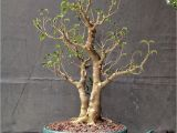 How to Take Care Of A Ficus Microcarpa Ginseng How About some Love for A Ficus Benjamina Adam S Art and Bonsai Blog