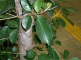 How to Take Care Of Ficus Microcarpa Ginseng Plant Ficus Microcarpa Growing Bonsai
