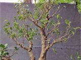 How to Take Care Of Ficus Microcarpa Ginseng Plant How About some Love for A Ficus Benjamina Adam S Art and Bonsai Blog