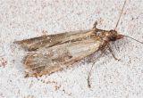 Indian Meal Moth Larvae In Bedroom Meal Moths In Bedroom Www Indiepedia org