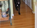 Laminate Flooring Dogs Slipping Tips for Dog Owners with Hardwood Floors the Log Home Guide