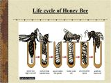 Lifespan Of A Bee Presentation Evs Class Iv Honey Bee Persented by Nirupma