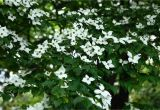 Little Poncho Dwarf Dogwood 12 Species Of Dogwood Trees Shrubs and Subshrubs