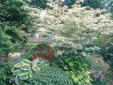Little Poncho Dwarf Dogwood Five Dogwoods that Deliver Stunning Blooms oregonlive Com