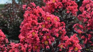 Midnight Magic Crape Myrtle First Editionsa Midnight Magica Crapemyrtle