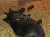 Mulefoot Hogs for Sale Large Img 0653 God S Country Ranch