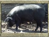 Mulefoot Hogs for Sale Morningside Meadows Mulefoot Pigs