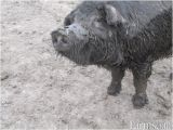 Mulefoot Hogs for Sale Mulefoot butcher Size Pigs for Sale Classified Farms Com