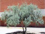 Olea Europaea Swan Hill Swan Hill Olive Olea Europaea Swan Hill Arizona Trees