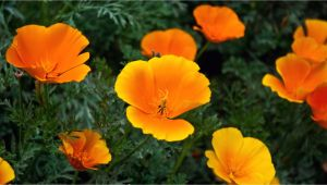 Orange Flowers Names and Pictures orange Flowers Names and Pictures