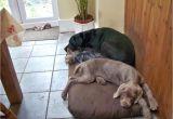 Orvis Anti Chew Dog Bed Dachshund Hot Dog Bun Bed Anti Chew Raised Dog Beds Noten