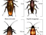 Palmetto Bug Vs Cockroach How Cockroaches Work Howstuffworks