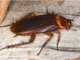 Palmetto Bug Vs Cockroach Palmetto Bug Vs Cockroach What 39 S the Difference Terminix