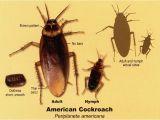 Palmetto Bug Vs Cockroach Palmetto Bug Vs Cockroach Www Pixshark Com Images