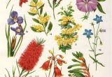 Paw Print Flower Art Australian Flora Drawings Google Search Garden Botanical