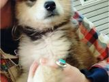 Pets In Beaumont Texas 76 Best Dogs Images On Pinterest Fluffy Pets Siberian Huskies and