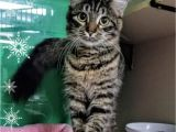 Pets In Beaumont Texas Maine Coon Cats for Adoption In Houston Texas Petcurious