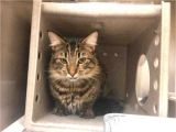 Pets In Beaumont Texas Maine Coon Domestic Short Hair Cat for Adoption In Texas City