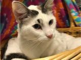 Pets In Beaumont Texas Siamese Maine Coon Cat for Adoption In Beaumont Texas Sunshine