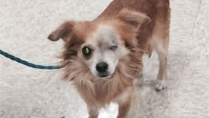 Pets without Partners In Redding Ca Robert is A 5 to 6 Year Old 8 Pound Long Haired Chihuahua He is A