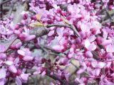 Pink Heartbreaker Weeping Redbud Pink Heartbreakera Redbud Heart Trellis