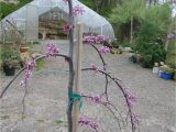 Pink Heartbreaker Weeping Redbud Victoria Gardens Pink Heartbreaker Weeping Redbud Cercis