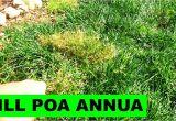 Poa Annua Pre Emergent 5000 Subs and How to Kill Poa Annua Youtube