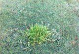 Poa Annua Pre Emergent Durban Country Club Golf Course Poa Annua Winter Grass