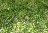 Poa Annua Pre Emergent Preemergent K State Turfgrass